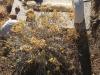 Rabbitbrush and Broken Gravestone